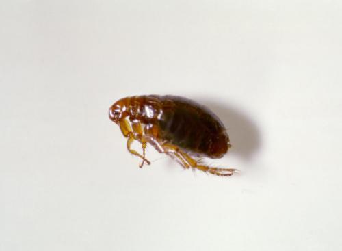 Close up picture of a flea on white background